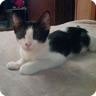 Domestic Shorthair Kitten for adoption in Mission Viejo, California - Cookie