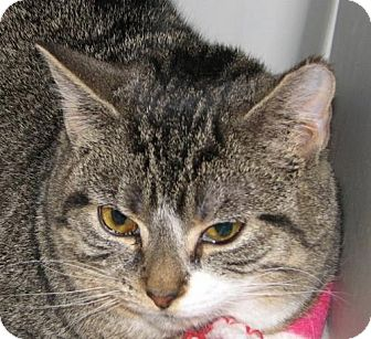Domestic Shorthair Cat for adoption in Harrisburg, Pennsylvania - Tupelo (teenage female)