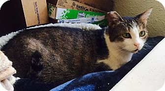 Domestic Shorthair Cat for adoption in Los Angeles, California - Fiona - a loving 3-legged girl