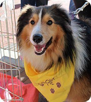 Sheltie, Shetland Sheepdog Dog for adoption in Charlottesville, Virginia - Fergus