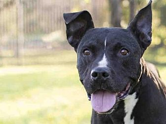 American Staffordshire Terrier Mix Dog for adoption in Los Angeles, California - DANNY