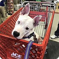 Adopt A Pet :: Lilith - DEAF/pending - Anderson, SC