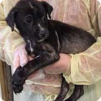 Adopt A Pet :: Festus/Flint - Allen, TX
