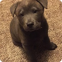 Adopt A Pet :: Baloo - SOUTHINGTON, CT