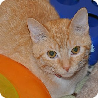 Domestic Shorthair Kitten for adoption in Foothill Ranch, California - Courtney