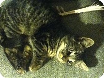 Domestic Shorthair Kitten for adoption in Portland, Maine - Braden
