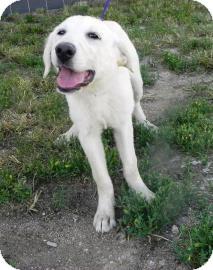 Golden Retriever/Great Pyrenees Mix Puppy for adoption in Cheyenne, Wyoming - Diamond