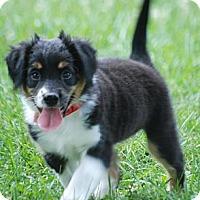 Adopt A Pet :: Chicory - Providence, RI