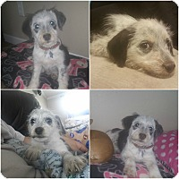 Adopt A Pet :: Penelope - Alamosa, CO