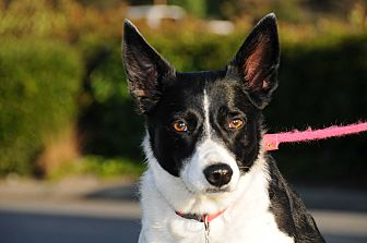 Border Collie Dog for adoption in San Pedro, California - HANNAH (Courtesy List)