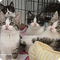 Adopt A Pet :: Fitz - Merrifield, VA