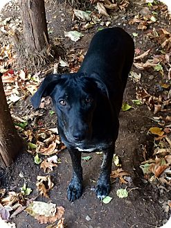 Labrador Retriever Mix Puppy for adoption in Manchester, Connecticut - Beyonce in CT