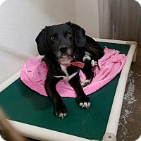 Adopt A Pet :: Henry - Geneseo, IL