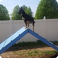 Adopt A Pet :: Frankie - St. Charles, MO