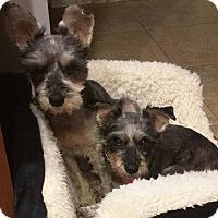 Adopt A Pet :: Ava - Normandy, TN