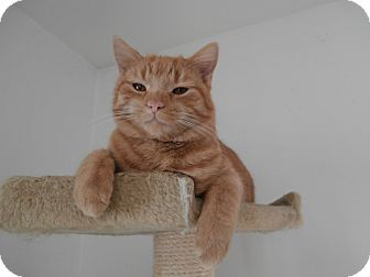 Domestic Shorthair Cat for adoption in Dover, Ohio - Tommy