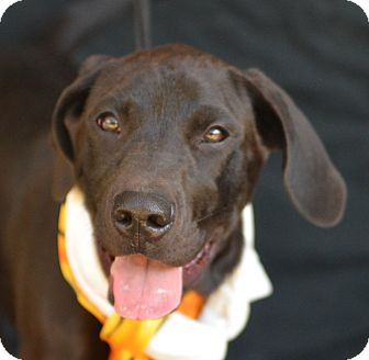 Great Dane Mix Puppy for adoption in Plano, Texas - Knight