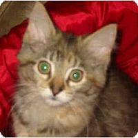 Adopt A Pet :: Tina the Tiger - Syracuse, NY