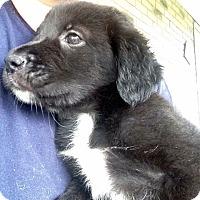 Adopt A Pet :: Trisha - Morgantown, WV