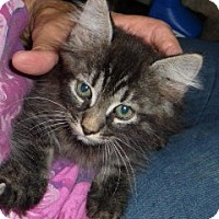 Adopt A Pet :: Biscotti - Dallas, TX