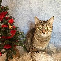 Domestic Shorthair Cat for adoption in Fredericksburg, Virginia - Nellie Bly