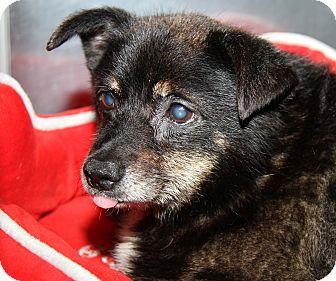 Pomeranian/Terrier (Unknown Type, Small) Mix Dog for adoption in Marietta, Ohio - Spunky (Neutered)