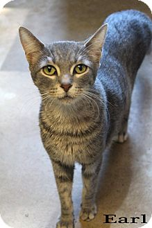 Domestic Shorthair Cat for adoption in Texarkana, Arkansas - Earl