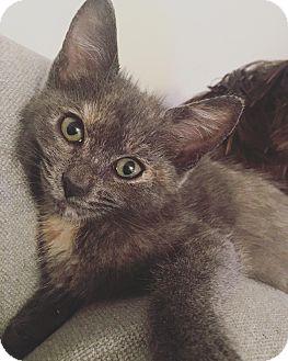Domestic Shorthair Kitten for adoption in beverly hills, California - Luna