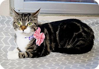 Domestic Shorthair Cat for adoption in Plano, Texas - SEKHMET - CLASSIC TABBY BEAUTY