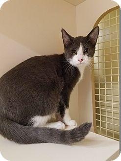 Domestic Shorthair Cat for adoption in Warren, Michigan - Barry Allen