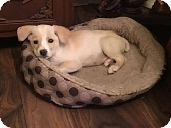 Terrier (Unknown Type, Medium) Mix Puppy for adoption in Boerne, Texas - Butterscotch
