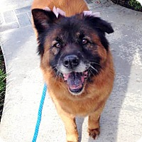 Chow Chow Mix Dog for adoption in Ventura, California - Copper