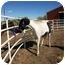 Photo 1 - Paint/Pinto Mix for adoption in Pueblo, Colorado - Whisper