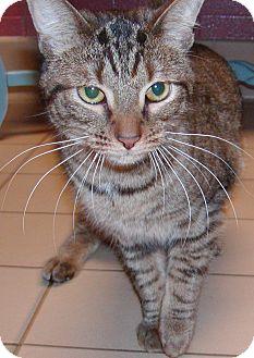 Domestic Shorthair Cat for adoption in Jackson, Michigan - Felix