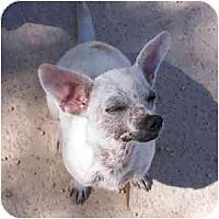 Adopt A Pet :: Shani - Phoenix, AZ