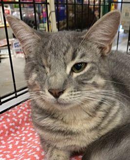 Domestic Shorthair Kitten for adoption in Cocoa, Florida - Sunshine