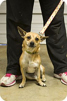 Chihuahua/Chihuahua Mix Dog for adoption in Austin, Arkansas - Joy
