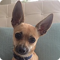 Chihuahua Mix Puppy for adoption in Surrey, British Columbia - Farley