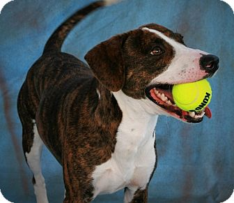 Bull Terrier/Terrier (Unknown Type, Medium) Mix Dog for adoption in Toms River, New Jersey - Woody