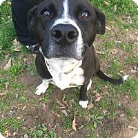 Adopt A Pet :: Harper - Glastonbury, CT