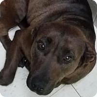 Adopt A Pet :: Halcyon - Philadelphia, PA