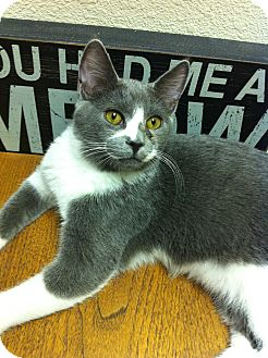 Domestic Shorthair Cat for adoption in Phoenix, Arizona - ASHE