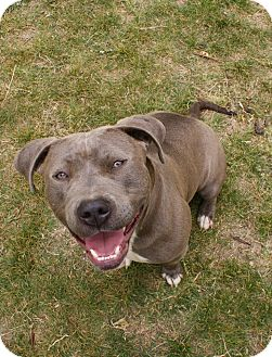 Staffordshire Bull Terrier Mix Dog for adoption in Yuba City, California - 04/09 Willow