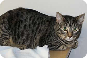 Domestic Shorthair Cat for adoption in North Highlands, California - Barney