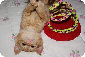 Domestic Shorthair Kitten for adoption in Trevose, Pennsylvania - Riley
