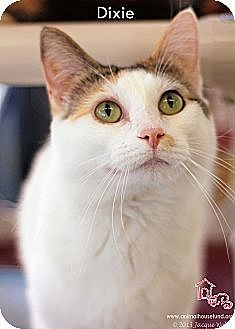Domestic Shorthair Cat for adoption in St Louis, Missouri - Dixie