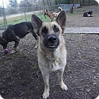 Adopt A Pet :: Tiger - Green Cove Springs, FL