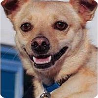 Adopt A Pet :: Chico - Rigaud, QC