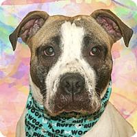 Adopt A Pet :: Lola - Cincinnati, OH