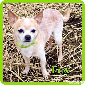 Chihuahua Dog for adoption in Jasper, Indiana - Fox